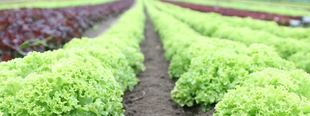Salatfeld Gemüsehof Weßling